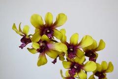 Orkidé - blommadetalj Fotografering för Bildbyråer