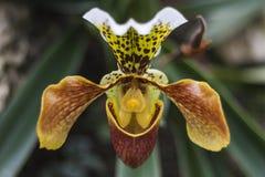 Orkidé för häftklammermatare för dam` s Arkivbilder