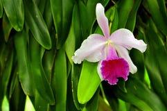 Orkidé Florida, USA Royaltyfria Foton
