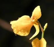 Orkidé från skog Arkivfoto
