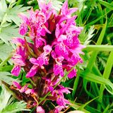 Orkidé i Burrenen arkivbild
