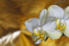 Orkidé i guling Royaltyfria Bilder