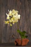 Orkidé i lerakruka över träbakgrund Fotografering för Bildbyråer