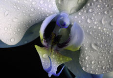 Orkidé i makro royaltyfri fotografi