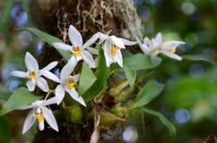 Orkidé i skogen (den Coelogyne nitidaen) Arkivbilder