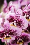 Orkidé i Thailand Arkivbilder
