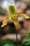 Orkidé i Thailand (paphiopedilumen) fotografering för bildbyråer