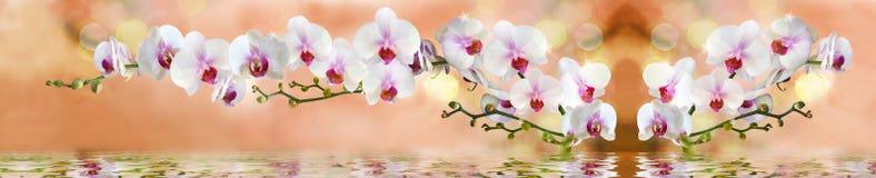 Orkidé i vattnet på en ljus beige bakgrund royaltyfri bild