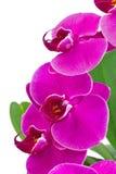 Orkidé med det gröna bladet Arkivbilder