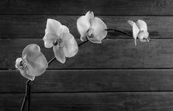Orkidé monokrom bild Arkivbilder