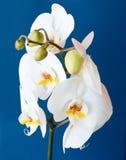 Orkidé mot blå bakgrund Royaltyfria Foton