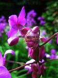 Orkidé och röd myra Fotografering för Bildbyråer