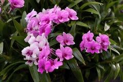 Orkidé orkidér, bakgrund, pinkblossom arkivbild