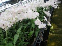 Orkidé orkidér, blomma, vit, vår, blom- som är härlig, natur, flora, blom, gräsplan, bakgrund, design, trädgård, lantgård, växt,  royaltyfria foton