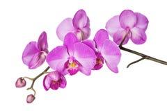 Orkidé på vit Arkivfoton