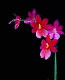 Orkidé som isoleras på en svart bakgrund Arkivbilder