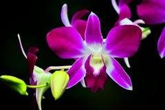 Orkidé Thailand Fotografering för Bildbyråer