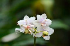 Orkidébönsyrsaaka Hymenopus coronatus arkivfoto