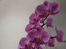 Orkidébakgrund Arkivfoto