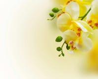 Orkidébakgrund Blom- gul bakgrund med orkidéblomman Royaltyfri Fotografi