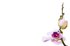 Orkidébakgrund på vit Royaltyfri Fotografi