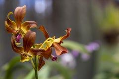 Orkidéblom royaltyfria foton