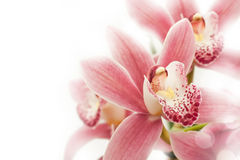 Orkidéblomma Royaltyfria Bilder
