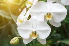 Orkidéblomma i orkidéträdgård på vintern eller vårdagen fotografering för bildbyråer