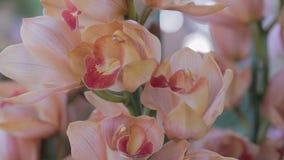 Orkidéblomma i orkidéträdgård på vintern eller vårdagen för skönhet och åkerbruk design Cymbidiumorkidé stock video