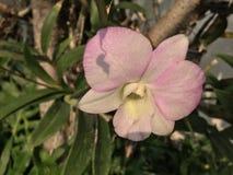 Orkidéblomma i trädgård på vintern eller vårdagen arkivfoton