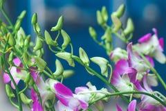 Orkidéblommaknoppar med att blomma blommor Arkivbild