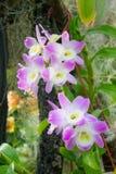 Orkidéblommarosa färger Arkivfoton