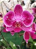 Orkidéblommor är mycket populära och färgrika fotografering för bildbyråer