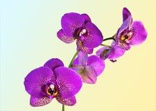 Orkidéblommor. Arkivbild