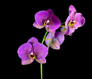 Orkidéblommor. Royaltyfri Fotografi