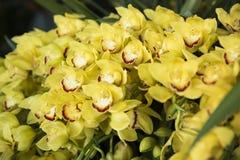 Orkidéblomning Royaltyfri Fotografi