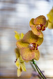 Orkidéblomning Arkivbilder