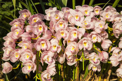 Orkidéblomning Fotografering för Bildbyråer
