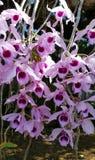 Orkidéblomningar Arkivfoto