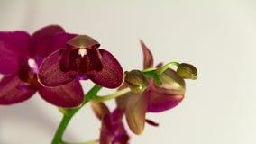 Orkidéblomtimelapse arkivfilmer