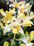 Orkidébukett av härligt Fotografering för Bildbyråer