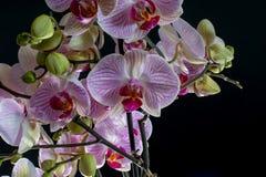 Orkidédropp Royaltyfri Foto