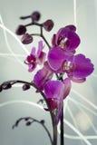 Orkidéeldfluga Royaltyfria Bilder