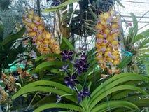 Orkidéfärg Fotografering för Bildbyråer