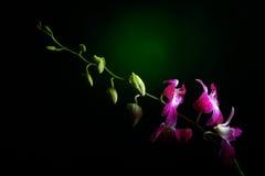 Orkidéfilial med vattendroppar på den Arkivbilder