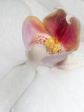 Orkidéknopp Arkivfoton