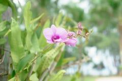orkidélilor Arkivfoto