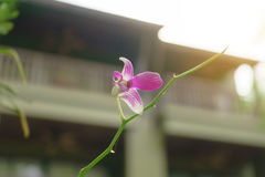 orkidélilor Royaltyfria Bilder