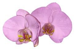 Orkidéljus - rosa färger blommar isolerat på vit bakgrund med den snabba banan closeup Rosa phalaenopsisblomma med guling-rosa fä royaltyfri foto