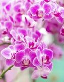 Orkidémakrocloseup i vård- brunnsort Fotografering för Bildbyråer